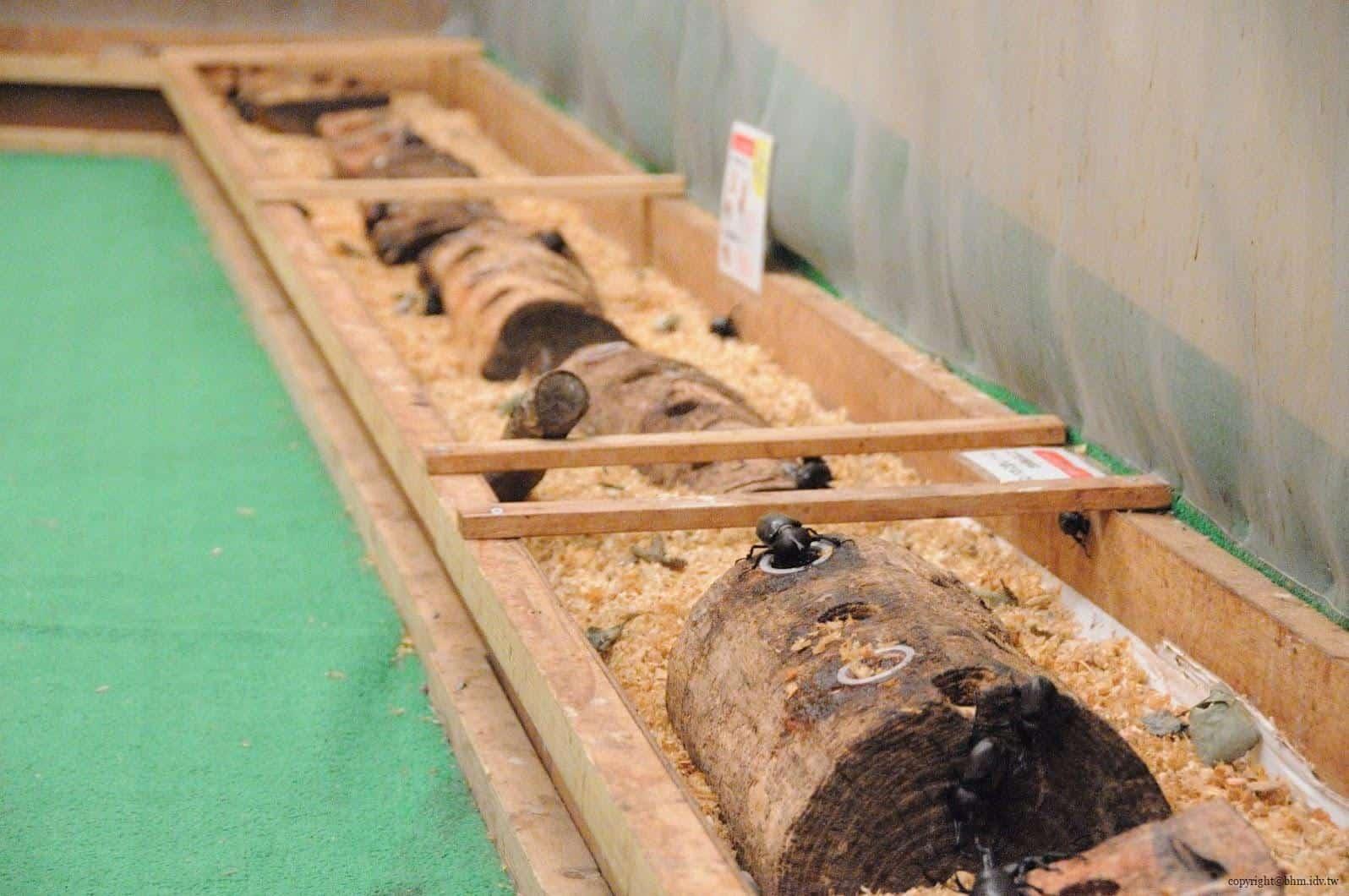 手塚貴晴+手塚由比,十日町市立里山科學館「森林學校」,介紹松之山區域自然與文化的自然科學館,裡面最讓我驚訝的甲蟲就這樣近距離讓遊客接觸,也第一次了解他們食物,處處充滿驚喜 十日町市立里山科學館 十日町市立里山科學館/森林學校 echigo matsunoyama museum of natural science 23